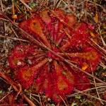 Sundew and other Australian plants