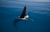 Photograph Humpback whales