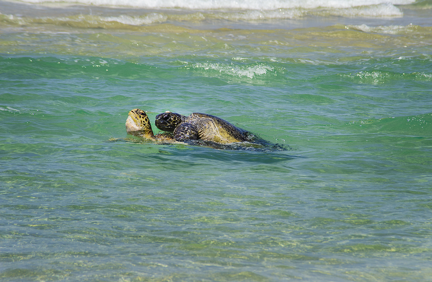 Loggerhead Turtles mating - Fraser Island