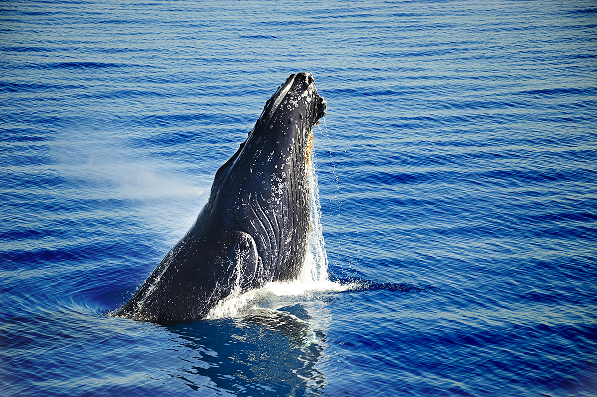 Humpback Whales, Queensland