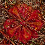 Sundew and other Australian plants