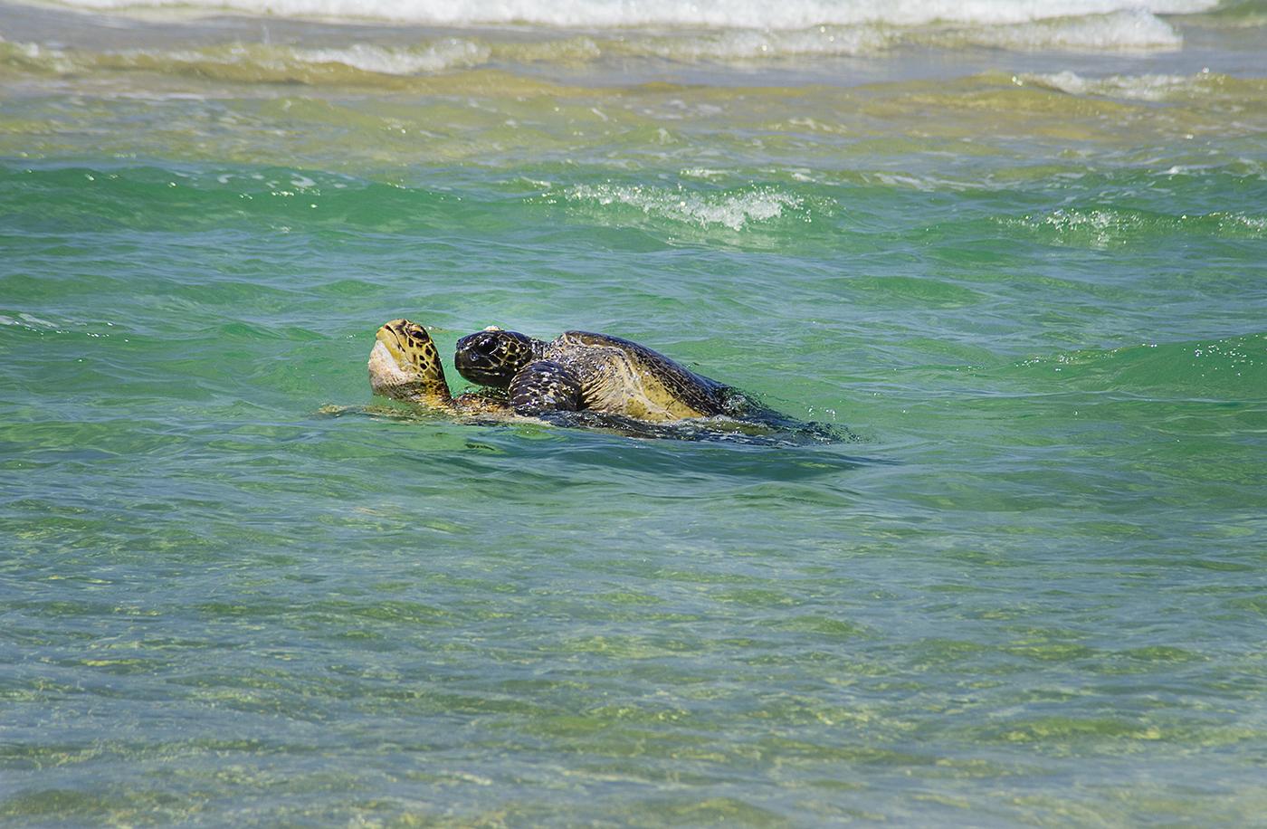 Loggerhead Turtles mating - Fraser Island