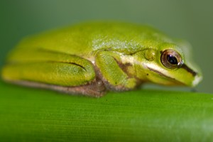 Frog_274_1_2000px