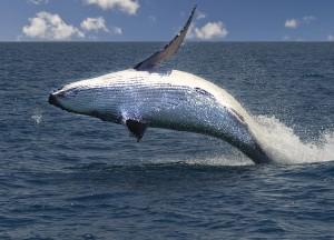 Whales_DSC_9589_1400