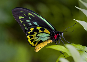The birdwing butterfly with its vibrant markings