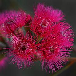 Pink flowers from an Australian native gum attract butterflies